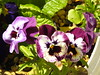 Pretty Pansies (Cornishcarolin. Stupid busy!! xx) Tags: cornwall penryn flowers pansies nature