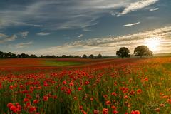 Corbridge, Northumberland (steveniceton.co.uk) Tags: poppies poppy northumberland england uk sunset flowers wildflowers landscape landscapes