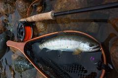 Yamame DSC_4244 (touhenboku) Tags: fly flyfishing yamame stream river fishing