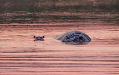 Hippo + Baby (Niklas H. Braun) Tags: animal lion hippo animalbaby nature wildlife south africa expedition adventure safari cub lioness prey hunt manyeleti kruger national park np travel
