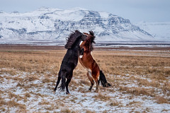 Bataille hippique (michelgroleau) Tags: iceland horse cheval chevaux islande snaefellnes bataille battle
