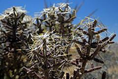 Formidable Vegetation: Joshua Tree National Park (jswensen2012) Tags: california joshuatreenationalpark diamondchollacactus cylindropuntiaramosissima cholla cactus mojavedesert desert spines