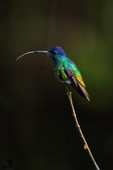 The rainbow bird (Osprey-Ian) Tags: peru goldentailedsapphirehummingbird