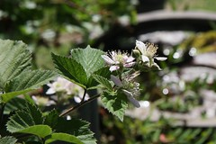 Blackberry in our backyard (Akira Murayama) Tags: blackberry blackberryflower blackberryblossom whiteblossom gardening fruit fruitlover flowerphoto flowerphotograph whiteflower