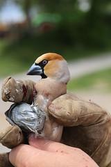 IMG_0816 (rudolf.brinkmoeller) Tags: wandern slowenien artviže kernbeiser coccothraustescoccothraustes finke vogel tier