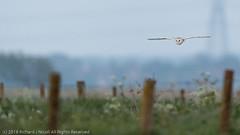 Barn Owl (Tyto Alba) at dusk (Richard Nicoll) Tags: nationaltrust naturereserve cambridgeshire tytoalba wicken barnowl uk wickenfen burwell england unitedkingdom gb