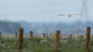 Barn Owl (Tyto Alba) at dusk