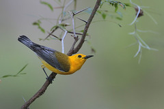 Prothonotary Warbler (Greg Lavaty Photography) Tags: prothonotarywarbler protonotariacitrea texas june brazosbend statepark ftbendcounty birdphotography outdoors bird nature wildlife