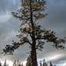 Yosemite: A strong tree 1