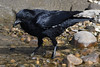 Prawn For Lunch. (stonefaction) Tags: birds nature wildlife scotland carrion crow prawn fife ness crail