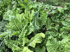 Spinach (RobW_) Tags: spinach organic garden thehydro lindida stellenbosch western cape south africa thursday 15mar2018 march 2018