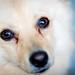 Regard amoureux (Cédric Fumière) Tags: animal closeup dog eyes spitz jette bruxelles belgique be