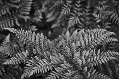 fern (Jos Mecklenfeld) Tags: nulbos westerwolde forest bos wald nature natur natuur sonya6000 sonyilce6000 minoltamdzoom75200f45 minoltamdzoom75200 minoltamdzoom75200mmf45 minolta minoltalens minoltamd ferns varens terapel groningen netherlands nl farne