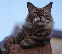 Neighbourhood Watch (JamieHaugh) Tags: clevedon northsomerset england uk gb great britain sony a6000 zeiss ilce6000 alpha outdoors wall bokeh cat feline pet animal furry cute portrait meow kitty neighbourhood watch vantage viewing eyes face boy male rio sky blue brown whiskers