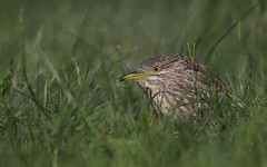 Lost in Green (sefunzionasse) Tags: night heron nycticorax nitticora grass green