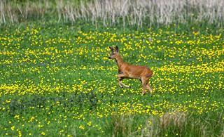 Roe Deer Buck ~ Explored