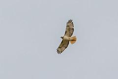 Krider's Red-tailed Hawk (Buteo jamaicensis) (Frode Jacobsen) Tags: redtailedhawk buteojamaicensis raptor southdakota