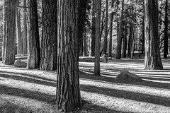 Yosemite  Valley - Wandering Through The Forest_B&W (www.karltonhuberphotography.com) Tags: 2018 bw blackandwhite california conifers details exploring flora forest karltonhuber light lines pattern peaceful pinetrees shadows spacing therapeutic treetrunks trees wandering yosemite yosemiteconservancy yosemitenationalpark yosemitevalley