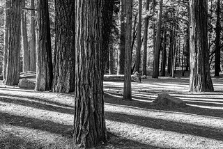 Yosemite  Valley - Wandering Through The Forest_B&W