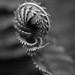 Come hither! (vogl_claus) Tags: fern sinister