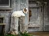 Heavy Feet (cs_one) Tags: spiez bern schweiz ch wood fun cute mammal horn animal agriculture goat wooden door domestic barn rural farm isolated farming rustic white