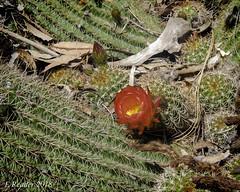 A Flower Among The Thorns, #2 (Greatest Paka Photography) Tags: cactusflower flower cactus thorns sharp prickly nature stanfordcactusgarden garden paloalto stanforduniversity
