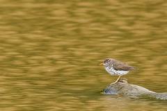 Spotted Sandpiper (Kevin Fox D500) Tags: sandpiper spottedsandpiper shorebird nature bird birding peacevalley pennsylvania nikond500 sigma150600sport