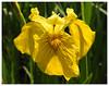Iris pseudacorus (Vulpe Photographie) Tags: fleur flower macro macrophoto macrophotography france flowerlovers beautifulflowers bestflowers coolpix p900 nikon normandie normandy nature