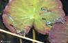 Quatuor (jean-daniel david) Tags: demoiselle agrion libellule duo quatuor nénuphar étang bleu vert roseau accouplement closeup grosplan nature réservenaturelle grandecariçaie insecte insectevolant cheseauxnoreaz yverdonlesbains suisse suisseromande vaud