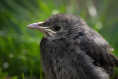 Juvenile wattled starling (FocusPocus Photography) Tags: lappenstar wattledstarling vogel bird creatophoracinerea tier animal jungtier youngster juvenile juvenil gras grass