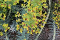 Euphorbia rigida - BG Madrid (Ruud de Block) Tags: ruuddeblock realjardínbotanicodemadrid euphorbiaceae euphorbia euphorbiarigida
