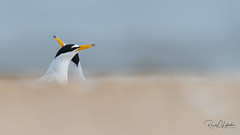 Least Tern - Sternula antillarum | 2018 - 1 (RGL_Photography) Tags: birding birds birdwatching gardenstate gatewaynationalrecreationarea jerseyshore leasttern monmouthcounty mothernature nature newjersey nikonafs600mmf4gedvr nikond500 ornithology sandyhook shorebirds sternulaantillarum tern us unitedstates wildlife wildlifephotography