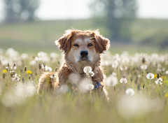 Journey2018 Day 149/365 (Simply Col) Tags: dandelion wishes lacie journey2018 365photos dof depthoffield makeawish