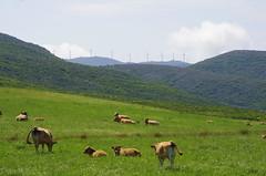 272 - Cap Corse, sur le sentier des douaniers au nord de Macinaggio, le troupeau de vaches dans la prairie devant la Rade de Santa Maria (paspog) Tags: corse capcorse sentierdesdouaniers radedesantamaria may mai 2018 france prairie field vaches cattle cows