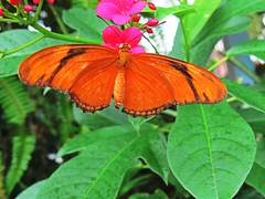 I love the colors of a butterfly in the summer. (kennethkonica) Tags: nature birds animalplanet animal animaleyes autumn canonpowershot canon usa america midwest indianapolis indiana indy color outdoor wildlife butterfly orange wings green
