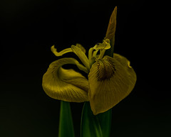 Yellow Flag Iris and Friend (neil 36) Tags: yellow flag iris lathkill dale derbyshire dales peak district river over haddon nature flower dark background fly