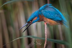 Focus on a prey (fire111) Tags: prey focus bird ijsvogel birding wild wildlife kingfisher colors close blue orange vogel