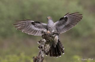 Cuckoo .