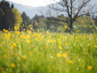 Spring Flower Meadow Buttercups Rural Countryside Bavaria ©