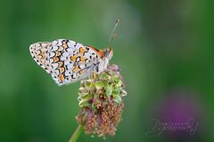 Melitaea phoebe (explored) (pgonmay) Tags: butterfly macro macrophotography mariposa lepidoptera melitaea