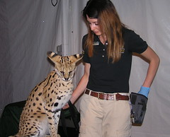 Brookfield Zoo (Vinny Gragg) Tags: animal animals brookfieldzoo zoo brookfieldillinois brookfield illinois zoos prettygirls prettywoman sexywoman girl girls woman cat cats bigcat bigcats servalcat serval ears bigears