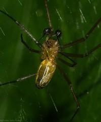 Nephila male (dustaway) Tags: arthropoda arachnida araneae araneomorphae araneidae nephilinae nephila male rprr rotaryparkrainforestreserve lismore nature northernrivers nsw australia