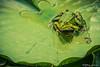 Der Froschkönig (TimFalk73) Tags: kameragehäuse orte deutschland tierart ampfing aufnahmetechniken frühling amphibien bayern grün grünelagune seentümpelteiche objektive ausrüstung porträt closeup sigmac150600 florafauna europa jahreszeiten nikond750 farben frosch europe germany locations amphibians animalspecies camerabody colours equipment frog imageaquisitiontechnic lakestarnsponds lenses portrait seasons spring