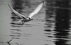 Freedom..!! (Eddie.Rasheed) Tags: incredibleindia kashmir freedom peace birds nikonphotography nikondigital nikon backpacker travelogue travelphotography mypixeldiary flight lake dallake