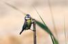 Eurasian Blue Tit (Kremlken) Tags: cherkasyoblast paridae birds birding easterneurope nikon500
