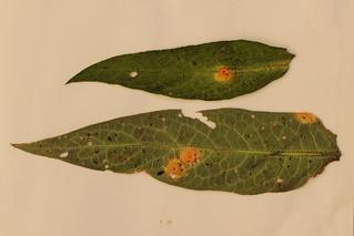 Puccinia symphyti-bromorum on Symphytum sp.