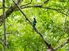 Blue over Green (sensatyaki7) Tags: bird kaziranga nature wildlife