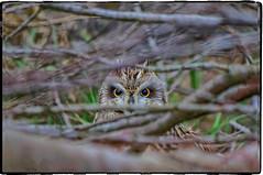 BUHO OCULTO (BLAMANTI) Tags: buhos buhocampestre rapaces ojos hermoso hermosa pentax pentaxkx blamanti
