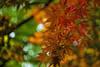 (Light Echoes) Tags: sony a6000 helios44258mm bokeh swirlybokeh 2018 spring plant tree maple redmaple