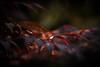 Set the Night on Fire (ursulamller900) Tags: primotar35135 mygarden maple ahorn bokeh red